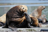 Steller's Sea lion — Foto Stock