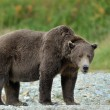 Grizzly Bear ( Ursus arctos horribilis) — Stock Photo #32749373