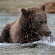 Stock Photo: Grizzly Bear ( Ursus arctos horribilis)