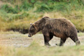 Grizzly Bear (Ursus arctos horribilis) — Foto Stock