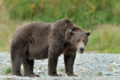 Grizzly Bear ( Ursus arctos horribilis) — Foto Stock