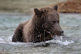 Grizzly Bear ( Ursus arctos horribilis) — Stock Photo