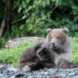 Grizzly Bear (Ursus arctos) — 图库照片