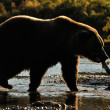 Stock Photo: Grizzly Bear (Ursus arctos)