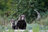 Grizzly Bear (Ursus arctos) — Stock fotografie