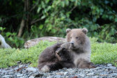 Grizzly Bear (Ursus arctos) — Стоковое фото