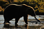Grizzly Bear (Ursus arctos) — Foto Stock