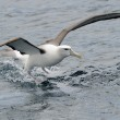 Stock Photo: Shy Albatross