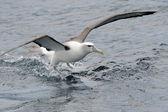 Utangaç albatros — Stok fotoğraf