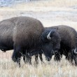 Stock Photo: Buffalo foraging