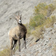 Stock Photo: Bighorn sheep