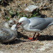Stock Photo: Red-billed Gull