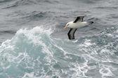 Black-browed Albatross — Stock Photo