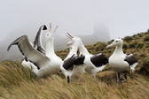 Royal Albatross — Stock Photo