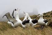 Royal Albatross — Stock Photo