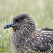 Stock Photo: Arctic Skua