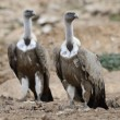 Griffon Vulture — Stockfoto
