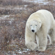 Polar Bear — Stock Photo #37442651