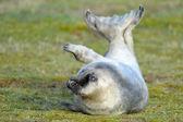 Seal — Stock Photo