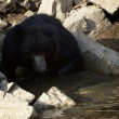 Stock Photo: Sloth bear