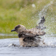 Arctic Skua — Stock Photo