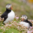 Stock Photo: Atlantic Puffin