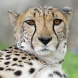 Cheetah — Stock Photo #40956837