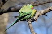 Parakeet — Stock Photo