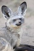 Bat-eared Fox — Stock Photo