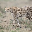 Cheetah — Stock Photo #41260023
