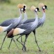Stock Photo: Grey Crowned Crane