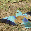 European Roller (Coracias garrulus) taking a sand bath — Stock Photo