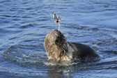 Grizzly bear (Ursus arctos) playing with fish in water — Stock Photo