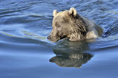 Grizzly bear swimming in water with reflection. — Stock Photo