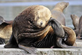 Sealion (Eumetopias jubatus) scratching it's head. — Stock Photo