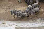 Blue Wildebeest (Connochaetes taurinus) — Stock Photo