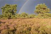 Landscape with heather (Calluna vulgaris) and rainstorm with rainbow. — Stock Photo