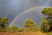 Landscape with heather (Calluna vulgaris) and rainstorm with rainbow. — Stock Photo