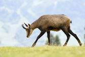 Chamois (Rupicapra carpatica) standing on hillside. — Stock Photo