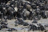 Wildebeest crossing the Mara river — Stock Photo