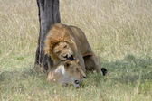 Lion pair mating. — Stock Photo