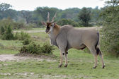 East African Eland. — Stock Photo