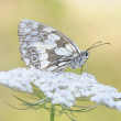 Marbled white butterfly close up. — Stock Photo #48621969