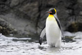 King Penguin (Aptenodytes patagonicus) — Zdjęcie stockowe
