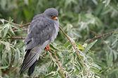 Red-footed Falcon (Falco vespertinus) — Stok fotoğraf