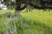 Lupinus kvetoucí — Stock fotografie