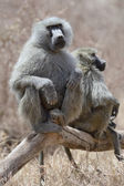 Baboon on branch — Stock Photo