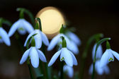 Common snowdrop — Stock Photo
