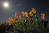 Tulip field in low angle view, with sunshine above. — Stock Photo