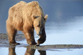 Grizzly Bear ( Urus arctos horribilis) — Foto de Stock